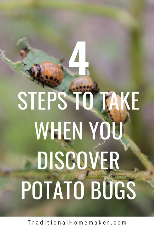 Blech! No one wants to find their potato plants covered in the tiny red larvae of potato bugs! Read on to learn how to get rid of potato bugs naturally.