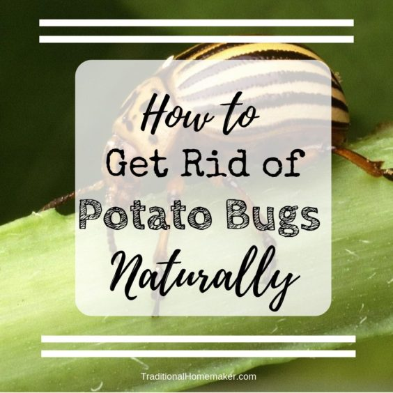 Learn how to get rid of potato bugs naturally.