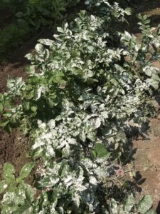 Dusting potato plants with diatomaceous earth for natural potato bug control.