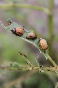 Potato bug larvae on a plant.